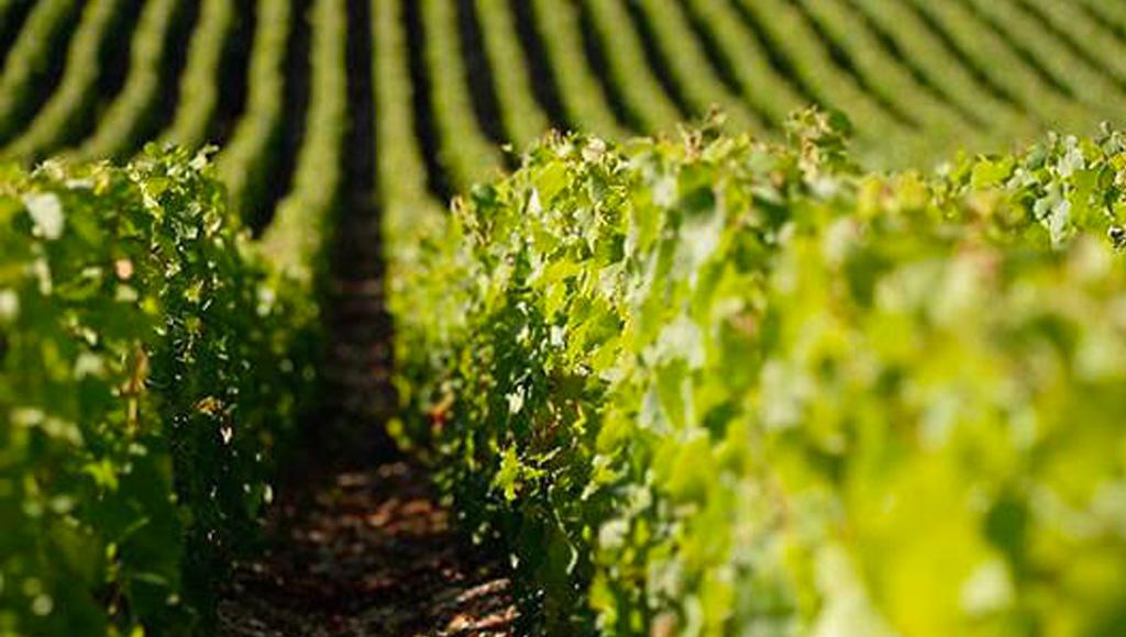 Alfred Gratien Vineyards