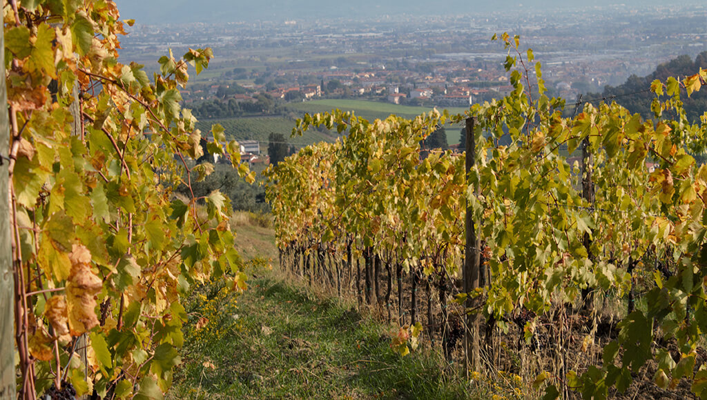Capezzana Vineyards