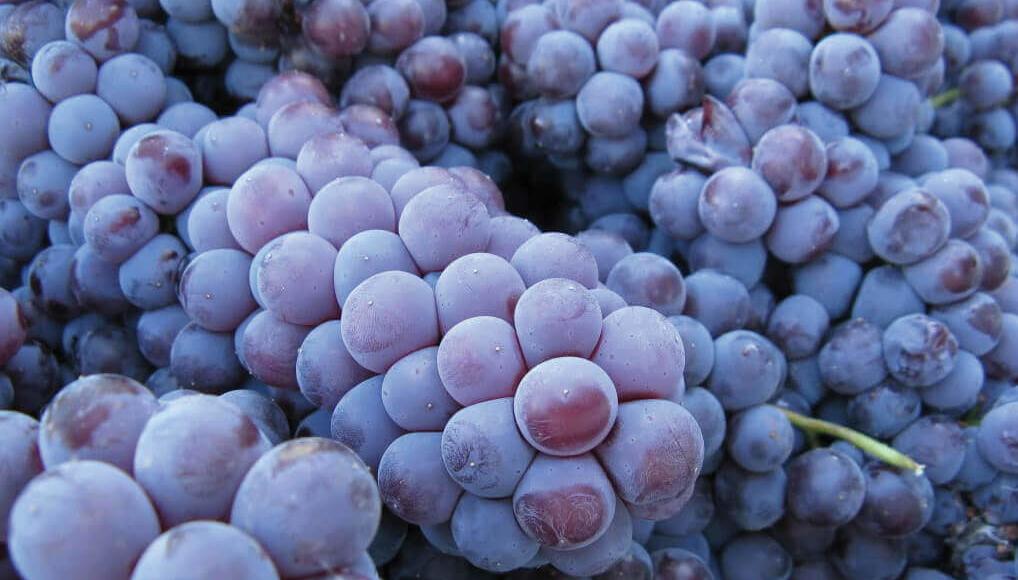 Castello di Monsanto grapes